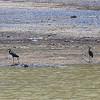Western Reef Herons