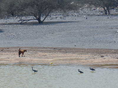 Feral Goat and Western Reef Herons