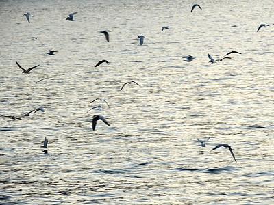 Terns fishing