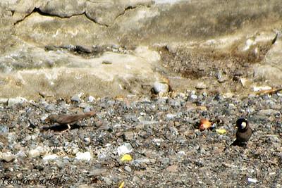 Desert Lark and White-eared Bulbul
