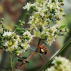 Bee on Henna