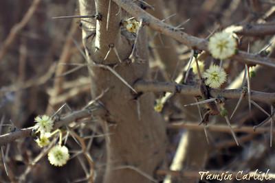 Umbrella Thorn in Flower