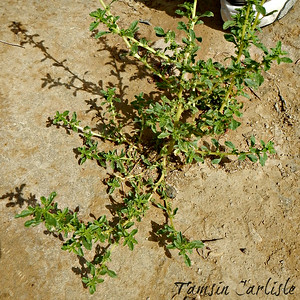 White Amaranth/Common Tumbleweed
