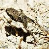 Dhofar Toad - juvenile