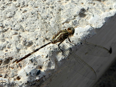 Green Marsh Hawk/Slender Skimmer - male