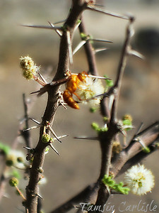 Yellow Paper-wasp