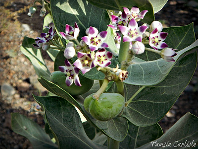 Sodom's Apple Milkweed