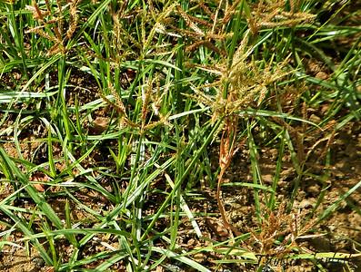 Wire Grass