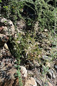 Kapok Bush/Desert Cotton