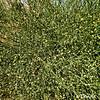 Broom Bush