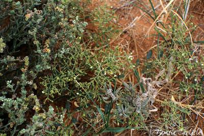 Shekka with Heliotropium