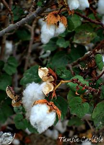 Levant Cotton