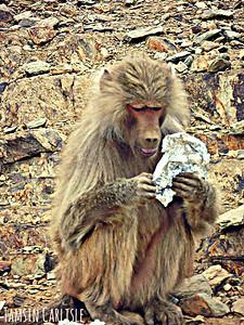 Hamadryas Baboon - female