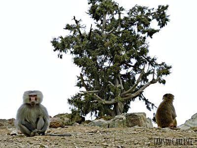 Hamadryas Baboon male and female