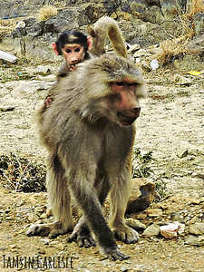 Hamadryas Baboon mother and infant