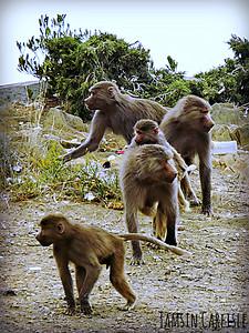 Hamadryas Baboon females and juveniles