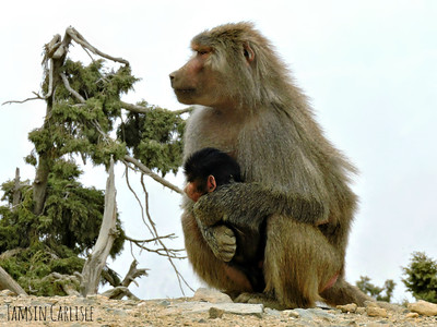 Hamadryas Baboon mother with infant