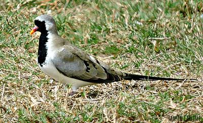 Namqua Dove