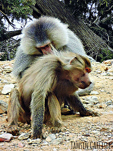 Hamadryas Baboons Grooming