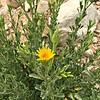 Toxic Yellow Daisy