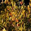 Soapberry Bush