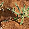 Arnebia hispidissima