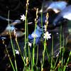 Asphodel Lily