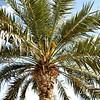 Date Palm in flower