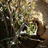 Grewia erythraea