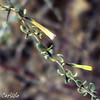 Desert Thorn Flowers