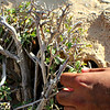 Grewia erythaea