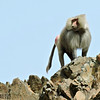 Hamadryas Baboon alpha male
