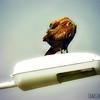 Black Kite preening
