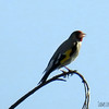 Eastern/Grey-headed Goldfinch