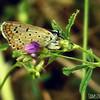 Common Blue - ovipositing female