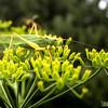 Sickle-bearing Bush Cricket - male