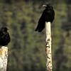 Northern Ravens