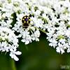 14-spot Ladybird
