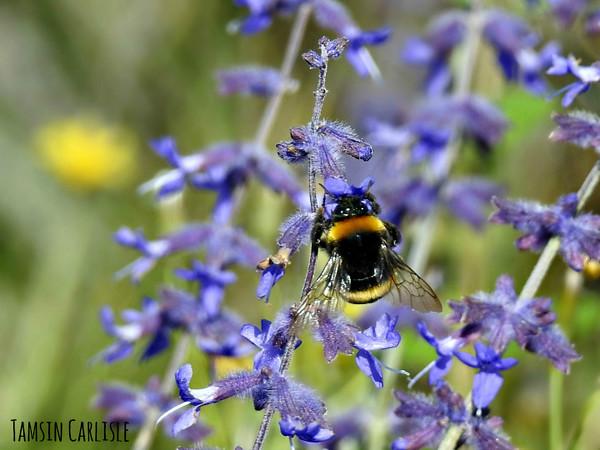 Bumblebee on Blue Salvia