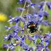 Bumblebee on Blue Salvia