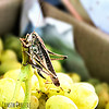 Long-horned Grasshopper
