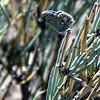 Common Blue - male