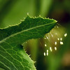 Lacewing Eggs on Hawkbit