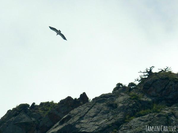 Bearded Vulture/Lammergeier