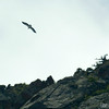 Bearded Vulture/Lammergeier