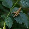 Short-horned Grasshopper on dog rose
