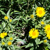 Meadow Fleabane