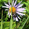 Alpine Aster with Beetle