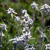 Himalayan Edelweiss