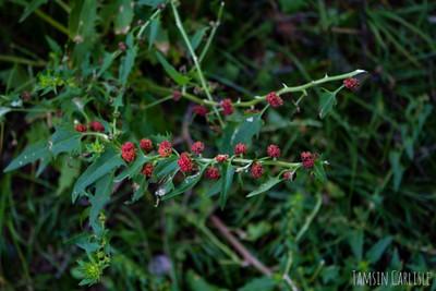 Family: Amaranthaceae